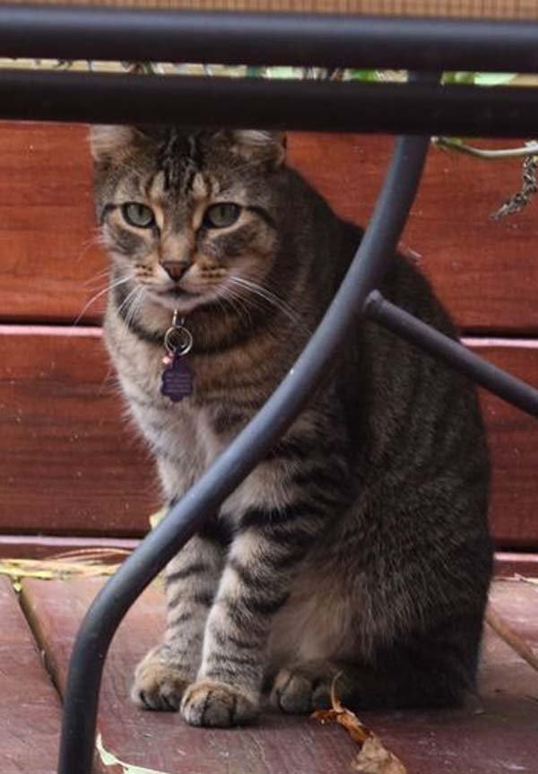Lost Domestic Short Hair in Yarmouth Port, MA US