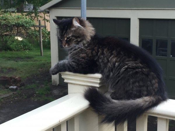 Lost Maine Coon in Arlington, MA US