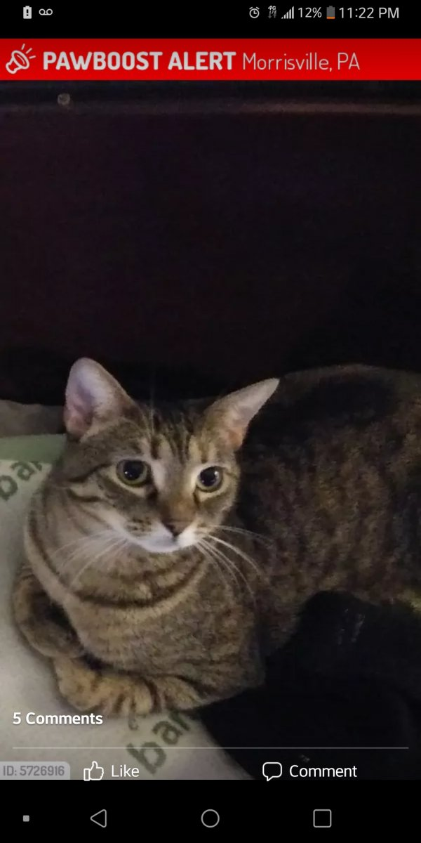 Lost Domestic Short Hair in Morrisville, PA US