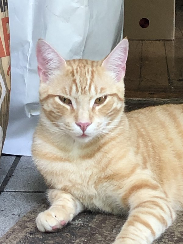 Lost American Shorthair in Philmont, NY US