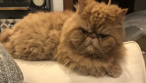 Lost Persian in Teaneck, NJ US