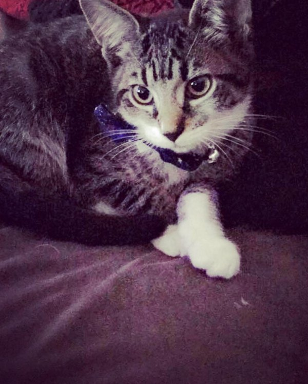 Lost Domestic Short Hair in Doylestown, PA US