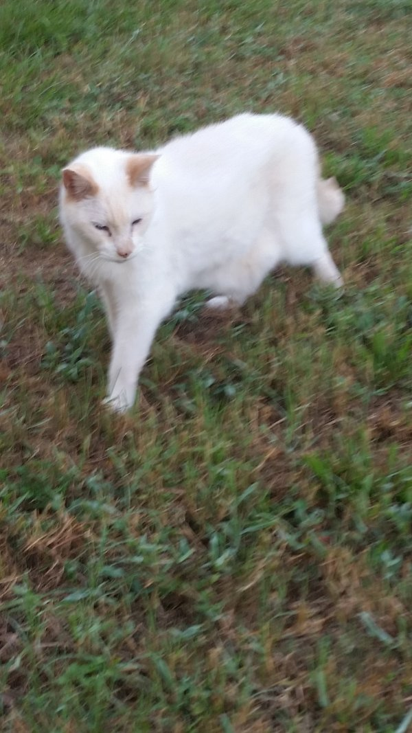 Safe American Shorthair in Land O Lakes, FL US