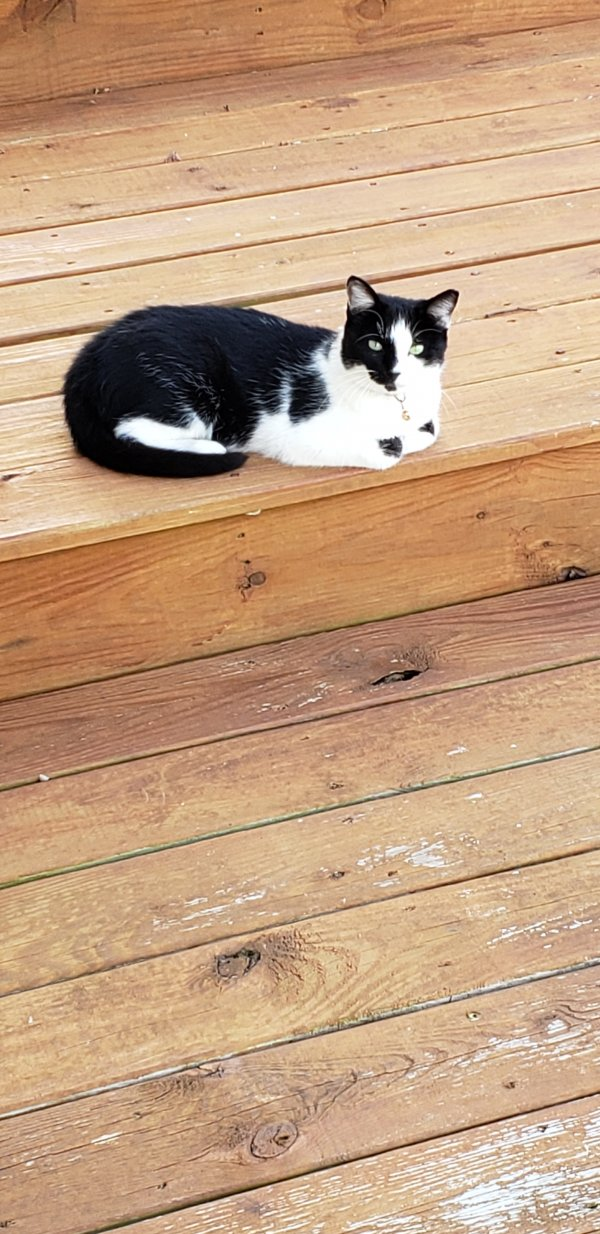 Found American Shorthair in Millsboro, DE US