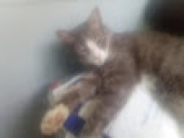 Lost American Shorthair in Port Chester, NY US