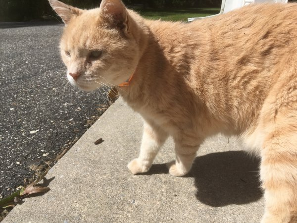 Lost American Shorthair in Estell Manor, NJ US