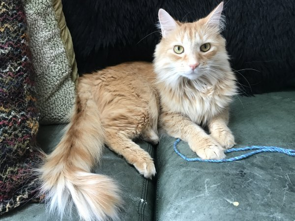 Lost Domestic Long Hair in Lititz, PA US