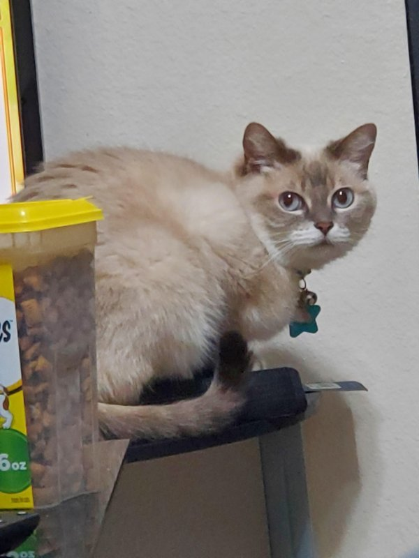 Safe Siamese in Salt Lake City, UT US