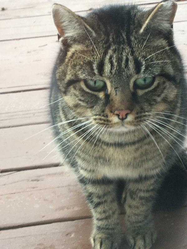 Found American Shorthair in Somerville, NJ US