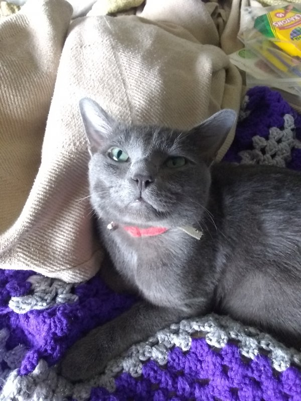 Lost Russian Blue in Houston, TX US
