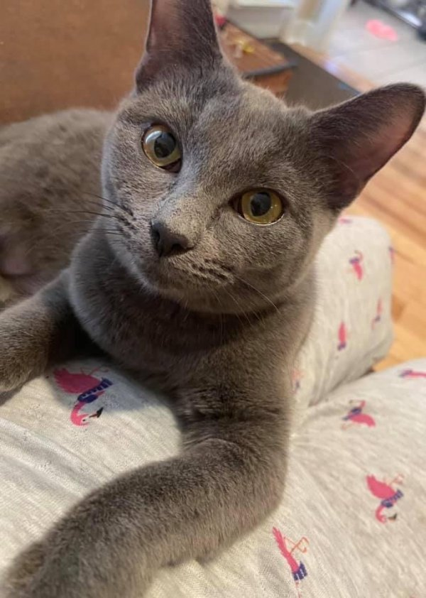 Lost Russian Blue in Meridianville, AL US