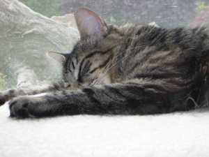 Safe Maine Coon in Seattle, WA US