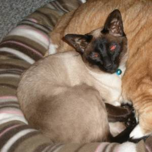 Safe Siamese in Adams, WI US