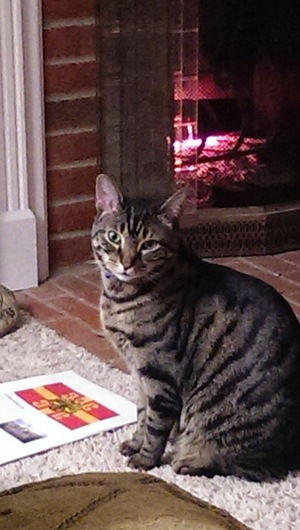 Safe American Shorthair in Maineville, OH US