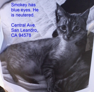 Safe American Shorthair in San Leandro, CA US